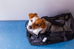 cute small dog in his travel cage ready to get on board the airplane at the airport. Pet in cabin. Traveling with dogs concept