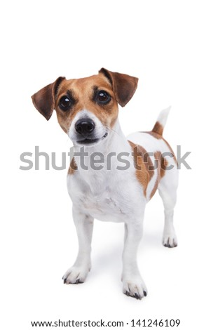 cute small dog Jack Russell terrier standing and attentively looking curiously at the camera #141246109