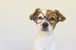 cute small dog sitting on bed and wearing glasses. Looking intelligent and curious. Pets indoors