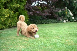 Cute Small Fluffy brown Toy Poodle playing with his ball outside very excited in a cute pose