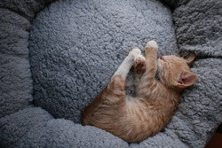 Cute small ginger kitten lying comfortably in a plush soft cushion round circle pet bed.