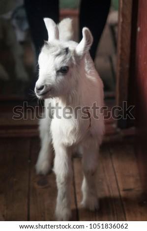 cute small goat #1051836062
