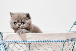 cute small grey exotic persian cat with shorthair in a basket