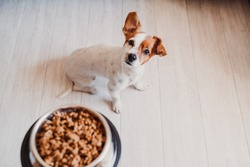 cute small jack russell dog at home waiting to eat his food in a bowl. Pets indoors