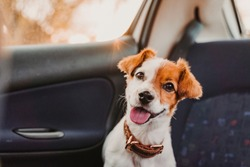 cute small jack russell dog in a car at sunset. Ready to travel. Traveling with pets concept Back light. Dog looking into camera