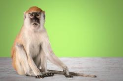 Cute small monkey animal on desk