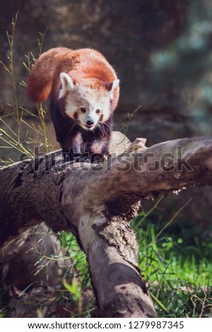 Cute small red panda #1279987345