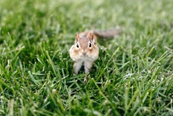 Cute small striped brown chipmunk with large cheeks pouches sitting in green grass. Yellow ground squirrel chipmunk Tamias striatus hiding food in cheeks. Wild rodent animal in nature outdoor.