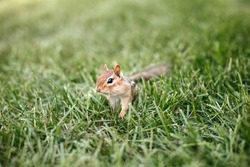 Cute small striped red brown chipmunk sitting in green grass. Yellow ground squirrel chipmunk Tamias striatus in natural habitat. Wild rodent animal in nature outdoors.