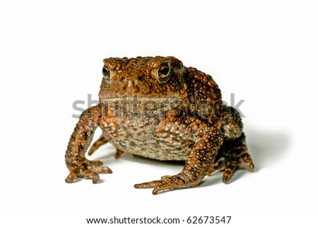 Cute small toad on white background facing the photographer