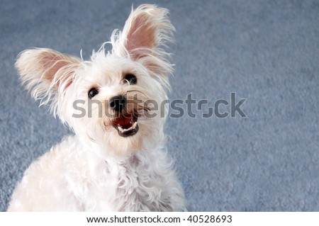 Cute small white lap dog with ears perked up and blue background