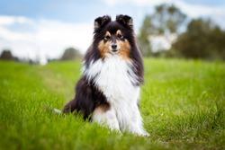 Cute, smiling fluffy black white tricolor shetland sheepdog, little sheltie portrait on green grass field with blue sky background.