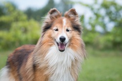 Cute, smiling fluffy sable white shetland sheepdog, little sheltie portrait on green grass field. Fur oldie small collie with gray eyelashes, lassie dog with smiling face in park on hot summer day.