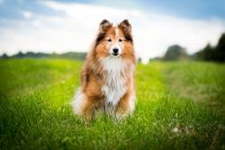 Cute, smiling fluffy sable white shetland sheepdog, little sheltie portrait on green grass field