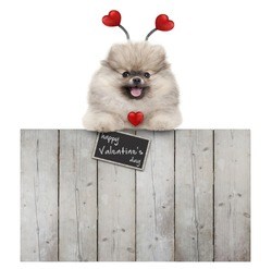 cute smiling pomeranian spitz pug puppy dog with red hearts diadem and sign happy valentine's day, hanging with paws on wooden fence, isolated on white background