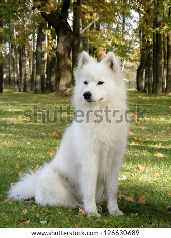 Cute smiling samoyed portrait in the park