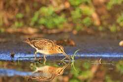 cute snipe wandering in the water and sees its reflection,Spring 2017, migration of birds, the hunting season 2017, waterbirds