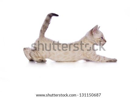 Cute Snow Bengal kitten stretching out with tail up side view solated on white background