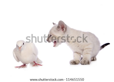 Cute Snow Bengal kitten with mouth open talking to white dove isolated on white background