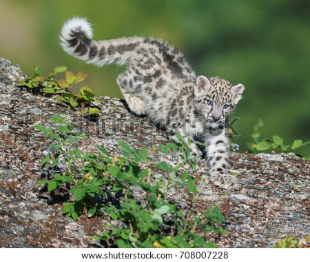 Cute snow leopard cub descending on rocky surface  #708007228