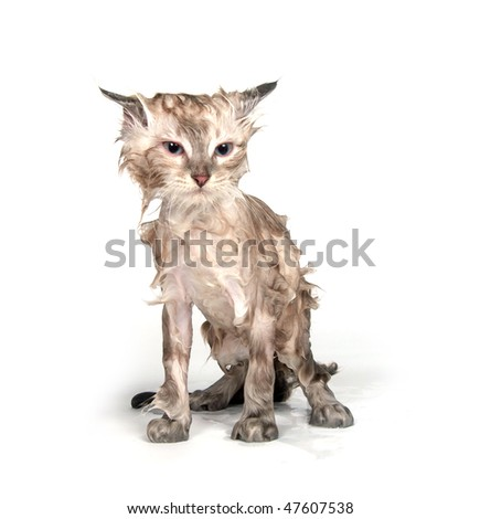 Cute soggy kitten after a bath - stock photo