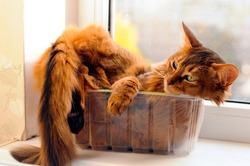 Cute somali cat lying inside plastic box