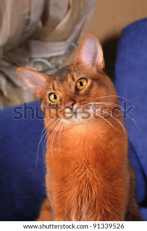 Cute somali cat portrait with head inclined