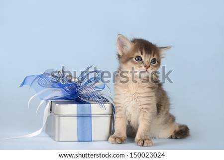 Cute somali kitten sitting near a present box on blue background