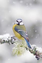 Cute songbird Blue Tit in winter scene, snowflakes on nice lichen tree branch.