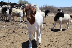 Cute South African Boer Goat Ram