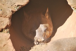 Cute Southern  Hairy-nosed Wombat sleeping