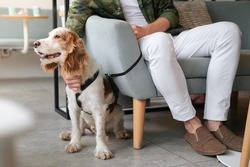 Cute spaniel dog sits at a cafe next to a visitor, generic interior. Pet friendly restaurants or public places, support dog, pets as companions