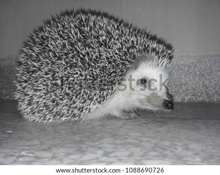 Shutterstock Cute spiky nocturnal hedgehog with tiny adorable nose