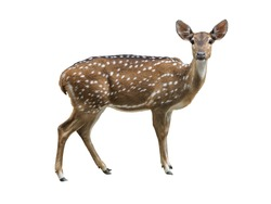 Cute spotted fallow deer isolated on white background with clipping path.