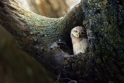 cute Spotted owlet