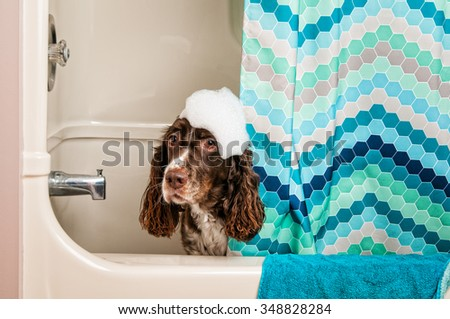 cute springer spaniel dog in the bath tub with bubbles on her head