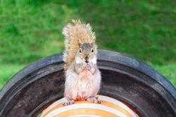 Cute squirrel eating an almond on an orange roadwork cone