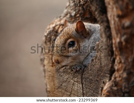 Cute squirrel looks out of her hole.