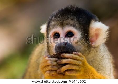 Cute Squirrel monkey (Saimiri)