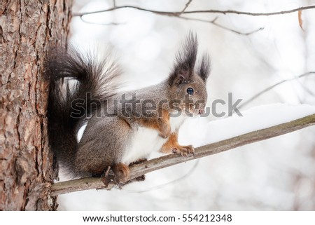 Cute squirrel on tree looking at winter scene, snowy park or forest.