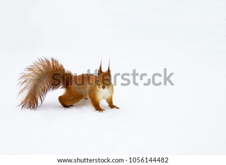 Cute squirrel with fluffy tail on snow