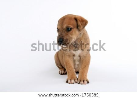 cute St. Bernard/Great Dane puppy sitting patiently