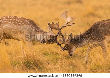 Cute stags in a rutt #1530569396