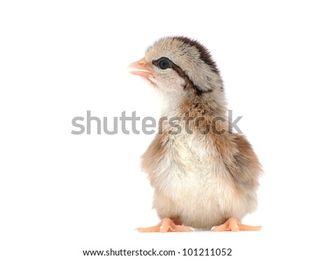 Cute striped Easter chick on white