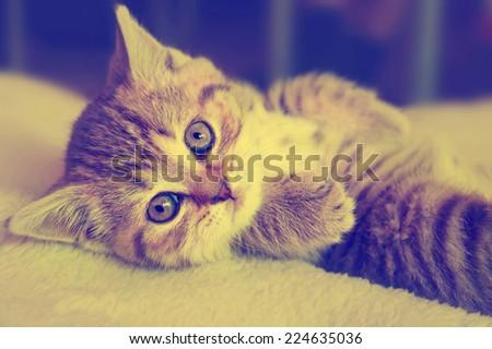 Cute striped scottish kitten on  background with retro vintage instagram filter