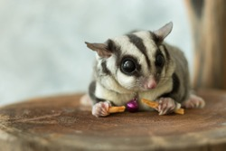 Cute Sugar Glider on a wood plate.