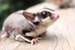 Cute Sugarglider pet