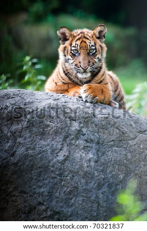 Cute sumatran tiger cub looking at the camera