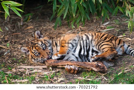 Cute sumatran tiger cub playing on the forest floor