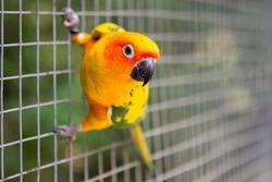 Cute Sun Conure climbing the cage